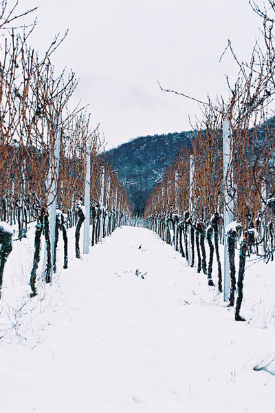 Blue Fish Vineyard in snow